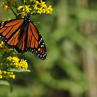 Monarch Butterfly on Goldenrod, As Is by Kim McClain Gregal