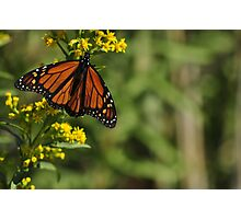 Monarch Butterfly on Goldenrod, As Is Photographic Print