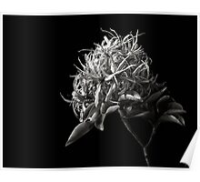 Cape Chestnut in Black and White Poster