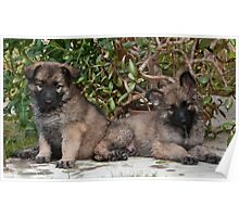 Shiloh Puppies Poster