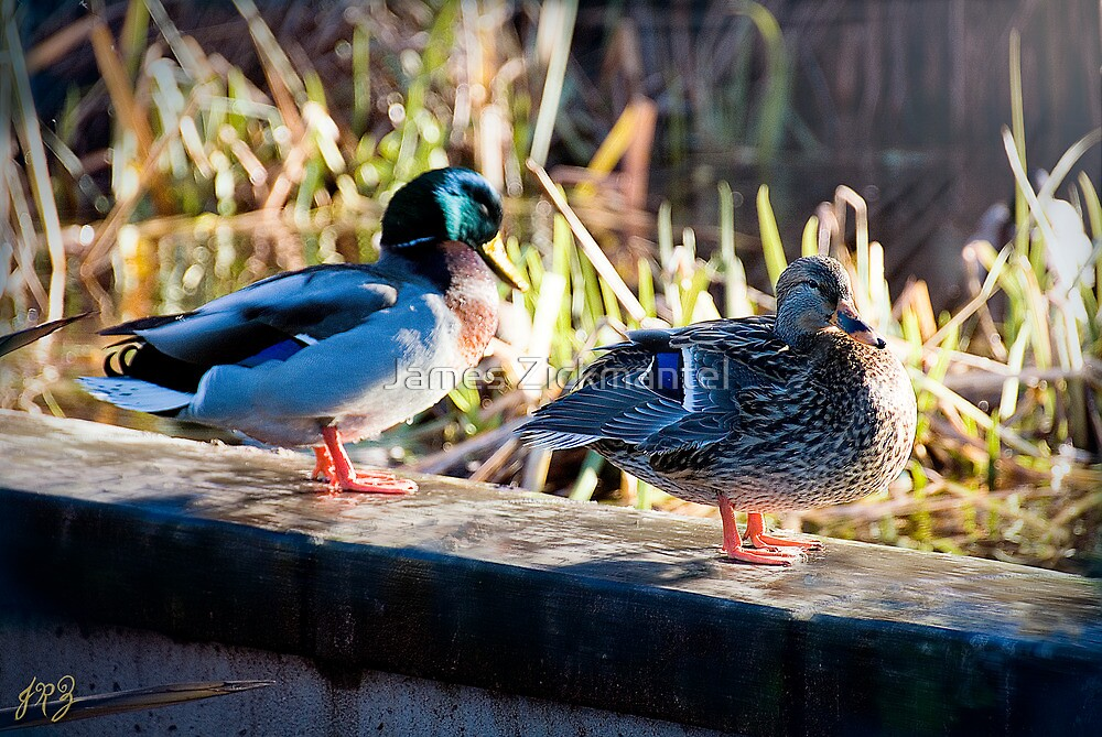 Duck Couple by James Zickmantel