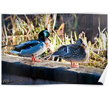 Duck Couple Poster