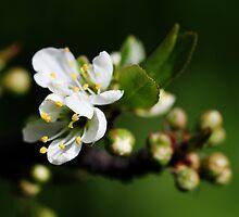 Blossoming by Ravyk
