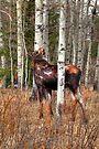 Lone moose by zumi