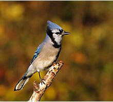 Classic Pose - Blue Jay Photographic Print