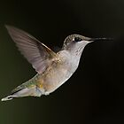 Dynamo Hum / Rubythroated Hummingbird In Flight by Gary Fairhead