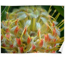 South African Leucospermum (Yellow) Poster