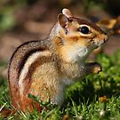 Eastern Chipmunk by naturalnomad