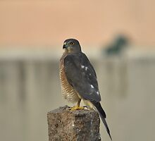 Juvenile Sharp Shinned Hawk by FRANCO JOSEPH