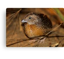 Red-chested Button-quail  Canvas Print