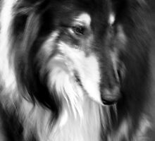 Melancholy Collie, Black Lassie, Rough Collie Portrait by Jane McDougall
