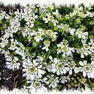 Candytuft - a small flower  by EdsMum