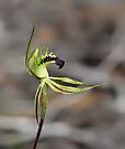 Rigid-combed spider-orchid by LeeoPhotography