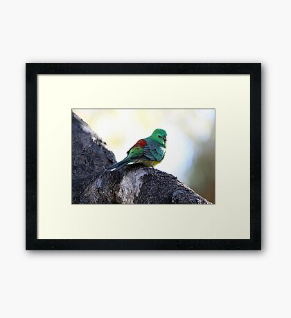 Red-rumped Parrot Framed Print