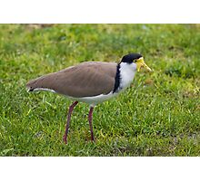 Masked Lapwing Photographic Print