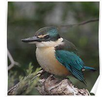 Sacred Kingfisher Poster