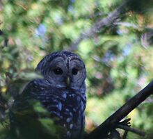 Barred Owl by pennysj