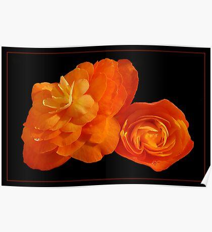 Peachy Begonias Poster