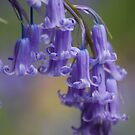 Bluebell by Matthew Folley