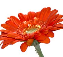 Orange Daisy Gerbera Flower  by Pixie Copley LRPS