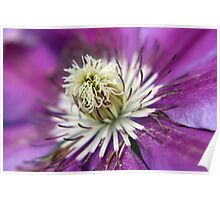 Macro Purple Clematis Flower Poster