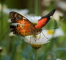Butterfly on a daisy by Pixie Copley LRPS