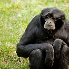 Siamang  by Kate Krutzner