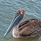 Brown Pelican at Grand Isle, Louisiana by Bonnie T.  Barry