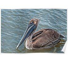Brown Pelican at Grand Isle, Louisiana Poster