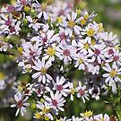 Little Autumn Asters by lorilee