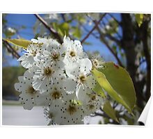 White plum blooms  Poster