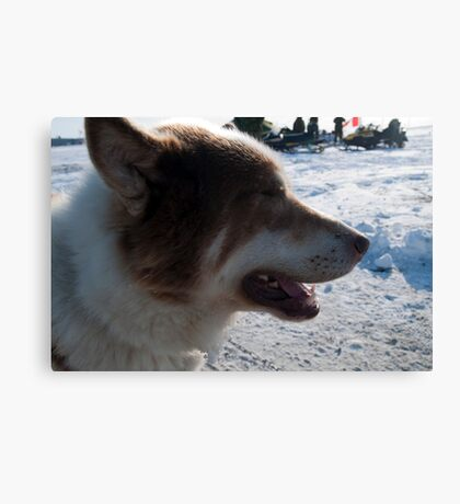 Sledge Dogs Resting on Display Canvas Print