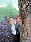 Cicada Bug Exiting Old Shell After 17 Years by Barberelli