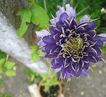Canny Clematis - Surrey by BlackhawkRogue