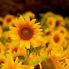 No One Can be Uncheered with Sunflowers by kelleygirl