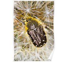 Apple Blossom Beetle (Tropinota hirta) on Dandelion Poster