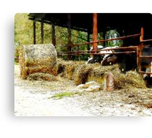 Cows with hay Canvas Print