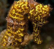 Yellow Longsnout Seahorse by Todd Krebs