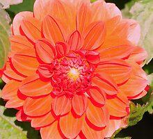Orange Dahlia by Kathleen Struckle