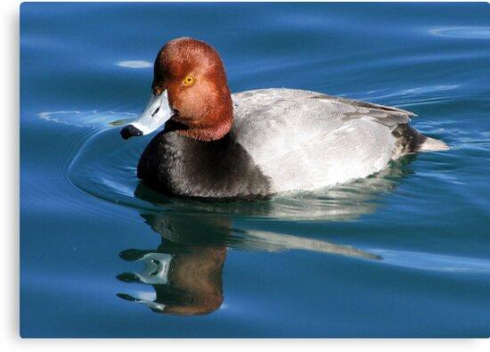 Redhead  Duck ~ Male II by Kimberly Chadwick