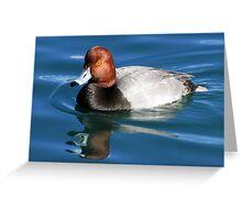 Redhead  Duck ~ Male II Greeting Card