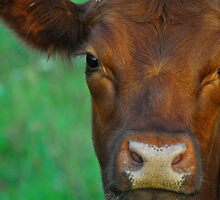 Sweet Cow by Michelle  Edwards Insights Photography
