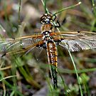 Mating Dragonflies by Larry Trupp
