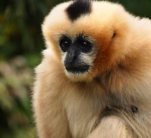 Gibbon by Paula McManus
