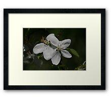 Flowering Saskatoon Framed Print