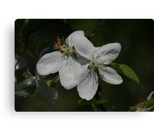 Flowering Saskatoon Canvas Print