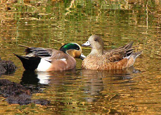 American Wigeon Pair by Kimberly Chadwick