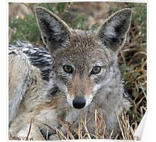 Drenched black backed jackal after rain  Poster