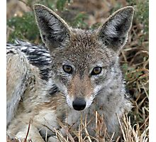 Drenched black backed jackal after rain  Photographic Print