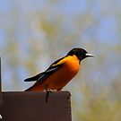 NORTHERN ORIOLE by Larry Trupp